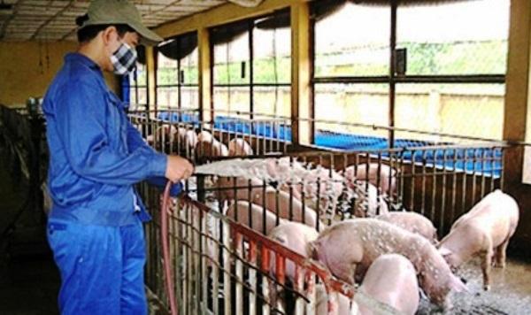 tạo môi trường tốt cho lợn phát triển